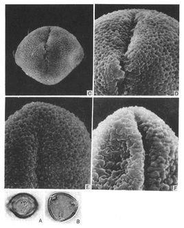 浅裂小花苣苔