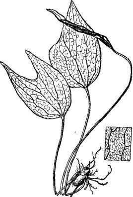 禾叶蕨科grammitidaceae