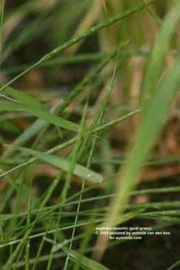 偏凸山羊草aegilops ventricosa