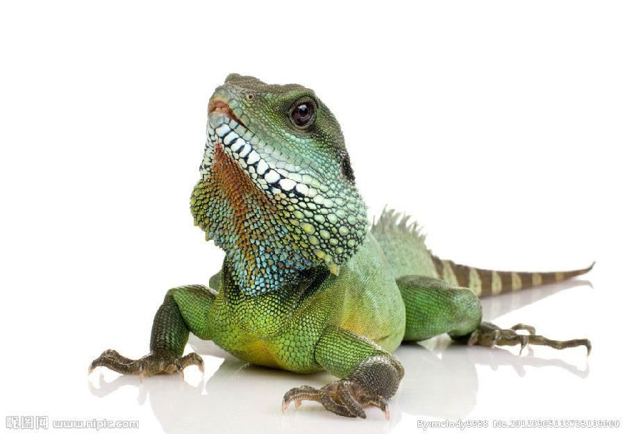 变色龙是爬行动物,是非常奇特的动物