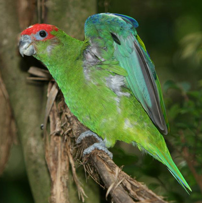 鹦鹉彩色翅膀素材