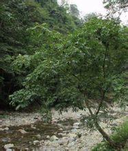 川檗(原)的特征是树15米