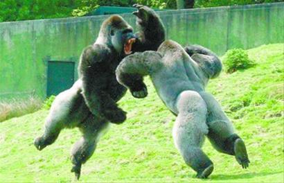 这种山地大猩猩被称为