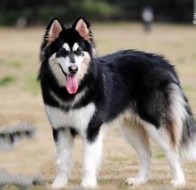 阿拉斯加雪橇犬难养_阿拉斯加雪橇犬_360百科