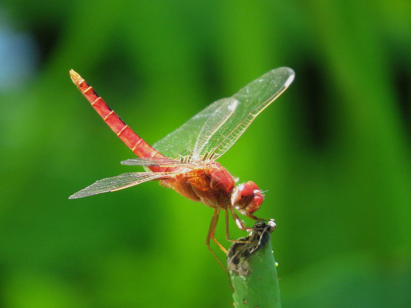 """小荷才露尖尖角, 早有蜻蜓立上头""""."""