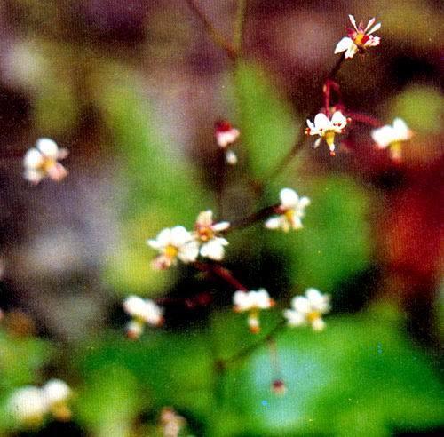 虎耳草属-多叶虎耳草