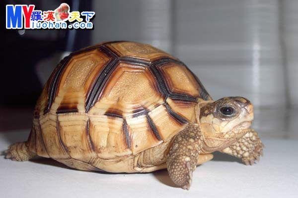 安哥洛卡象龟安哥洛卡象龟主要栖息于马达加斯加岛